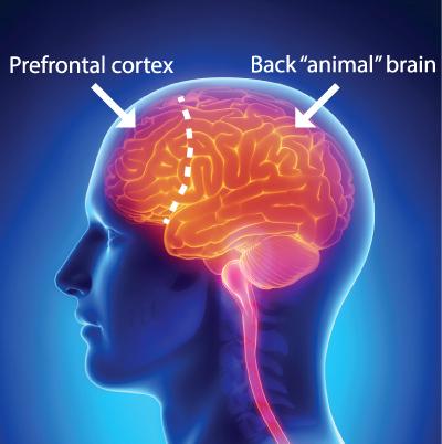 front-back-brain